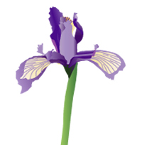 illustration of iris